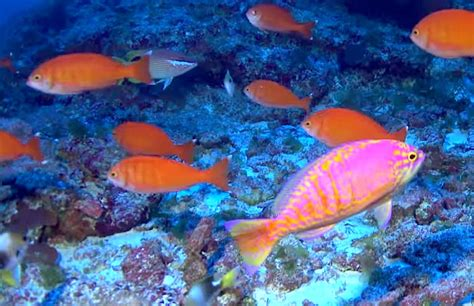 The Coolest Hawaiian reef fish get visually checklisted in