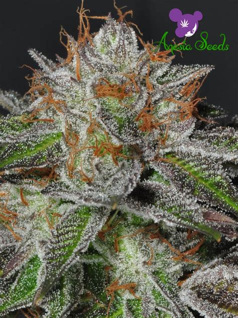 Bruce Banner #3 – Anesia Seeds