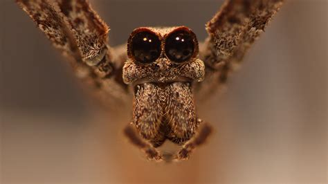 Jeepers creepers: Massive spider eyes shrink 25% in
